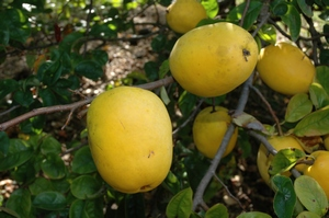 Quince Chinese - Incredible Edibles® ... Bringing Your ... | 300 x 199 jpeg 79kB