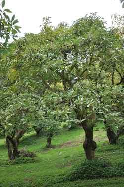 Avocado Incredible Edibles 174 Bringing Your Garden