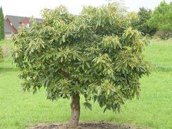 Avocado - Incredible Edibles® ... Bringing Your Garden ... | 250 x 188 jpeg 21kB