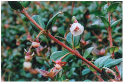Chilean Guava - Incredible Edibles® ... Bringing Your ...