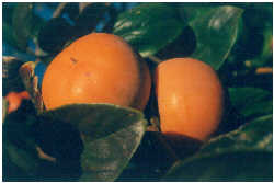 Persimmon - Incredible Edibles® ... Bringing Your Garden ... | 250 x 167 jpeg 7kB