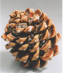 Varieties Pine Nut - Incredible Edibles® ... Bringing Your ... | 250 x 290 jpeg 14kB