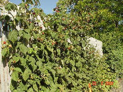 Raspberry - Incredible Edibles® ... Bringing Your Garden ... | 250 x 188 jpeg 19kB