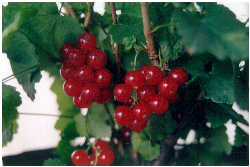 fruit edibles fruits that contain iron